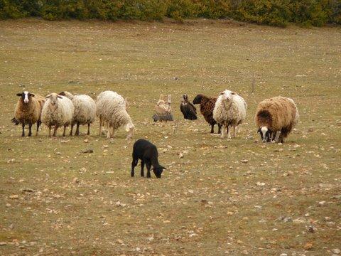 Témoignage d'un éleveur des Grands Causses