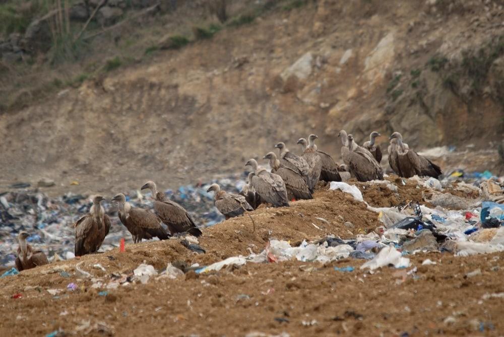 Buitres leonados alimentándose en la zona de rechazo de una Planta de Transformación de Residuos Sólidos Urbanos