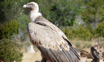 Les attaques du bétail par les vautours : mythe ou réalité ?
