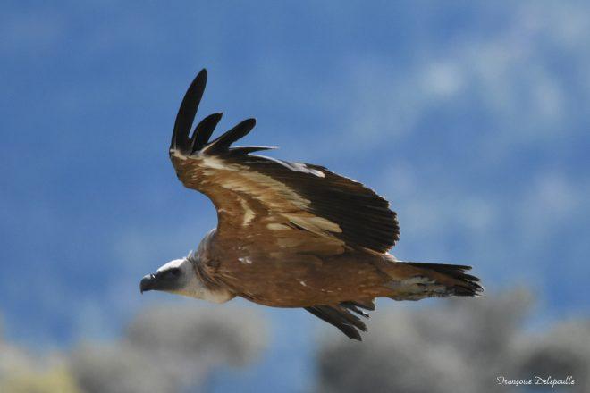 Vautour en vol dans le ciel